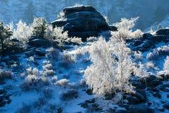 Abedules y pinos que crecen en rocas en invierno Fotos de archivo