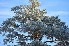 Abedules y pinos que crecen en rocas en invierno Imagenes de archivo