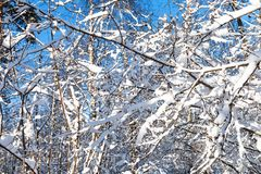 abedules y ramas nevadas de los árboles de arce Imagenes de archivo