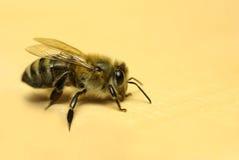 Abeille à miel, Image stock