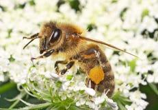 Abeille à miel Photographie stock libre de droits