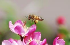 Abeille à miel de vol photographie stock
