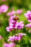 Abeille à miel et fleurs image stock