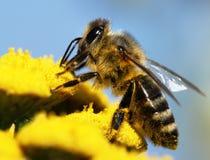 Abeille à miel pollinisée de la fleur jaune Images libres de droits