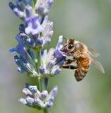 Abeille à miel rassemblant le nectar Image stock