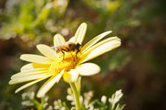 Abeille à miel sur la marguerite jaune Photo libre de droits