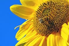 Abeille à miel sur le tournesol jaune Images libres de droits