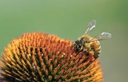 Abeille à miel sur une fleur Images stock