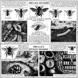 abeille-1-OA Stock Photos