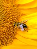 Abeille. Images stock