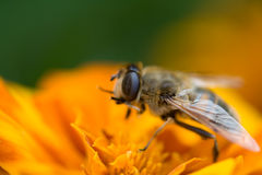 Abeille Images stock