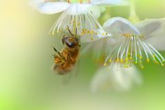 Abeille photo stock