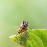 abeille photo libre de droits