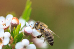 Abeille Photo libre de droits