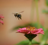 Abeille Photographie stock