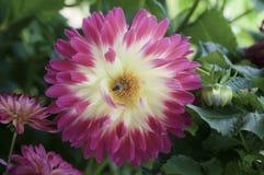 Abeille au centre de la fleur jaune de dahlia avec les bords rouges Image stock