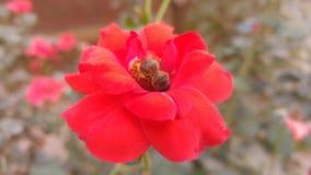 Abeille au-dessus d'une fleur Images stock