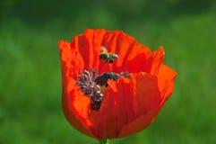 Abeille au-dessus de fleur de pavot Images libres de droits