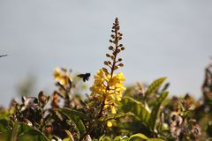 Abeille au pollen photo libre de droits