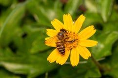 Abeille avec des fleurs Photographie stock libre de droits