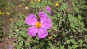Abeille avec des paniers de pollen moissonnant le nectar banque de vidéos