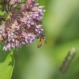 Abeille avec des sacs de pollen Photographie stock libre de droits