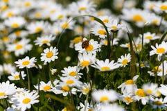 Abeille avec le pollen Images libres de droits
