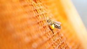Abeille avec le pollen, rassemblant le pollen banque de vidéos