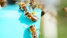 Abeille avec le pollen, rassemblant le pollen clips vidéos