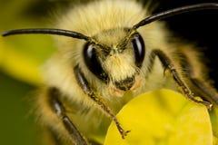 Abeille avec le pollen sur la tête Photos stock