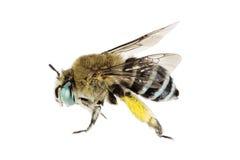 abeille Bleu-réunie, cingulata d'Amegilla Photographie stock libre de droits