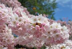 Abeille bourdonnant au-dessus des fleurs de cerisier à Seattle images stock