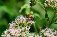 Abeille branchée pour fleurir le pollen photo stock
