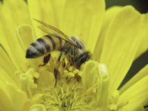 Abeille caucasienne rassemblant le pollen Image stock