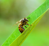 Abeille collante Images stock