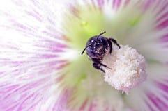 Abeille comme pollinisateur image libre de droits