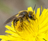 Abeille couverte dans le pollen Photos stock