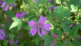 Abeille couverte dans le pollen volant à la fleur pourpre banque de vidéos