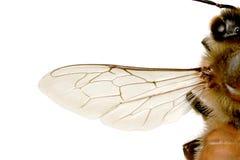 Abeille d'abeille, européenne ou occidentale de miel Image stock