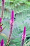 Abeille d'extraction cendrée Andrena Cineraria sur des fleurs de pourpre de crêtes Photos libres de droits