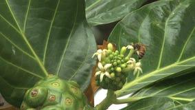 Abeille d'Hawaï sur la fleur tropicale d'arbre clips vidéos