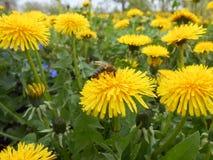 Abeille d'insecte sur un pissenlit jaune Image stock