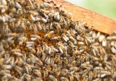 Abeille d'insectes avec le fonctionnement de reine des abeilles Image libre de droits