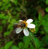 Abeille d'ouvrier Photo stock