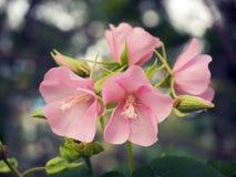 Abeille dans l'abeille de fleur stupéfiant, abeille de miel pollinisée de la fleur rose photos stock