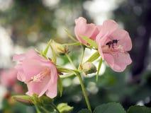 Abeille dans l'abeille de fleur stupéfiant, abeille de miel pollinisée de la fleur rose image libre de droits