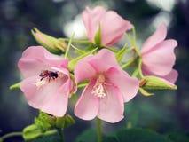 Abeille dans l'abeille de fleur stupéfiant, abeille de miel pollinisée de la fleur rose photos libres de droits