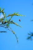 Abeille dans le ciel bleu Photographie stock
