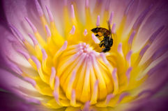 Abeille dans le lotus pourpré photo stock