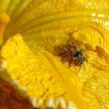 Abeille dans le pollen Photographie stock libre de droits